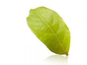 Chacruna leaf