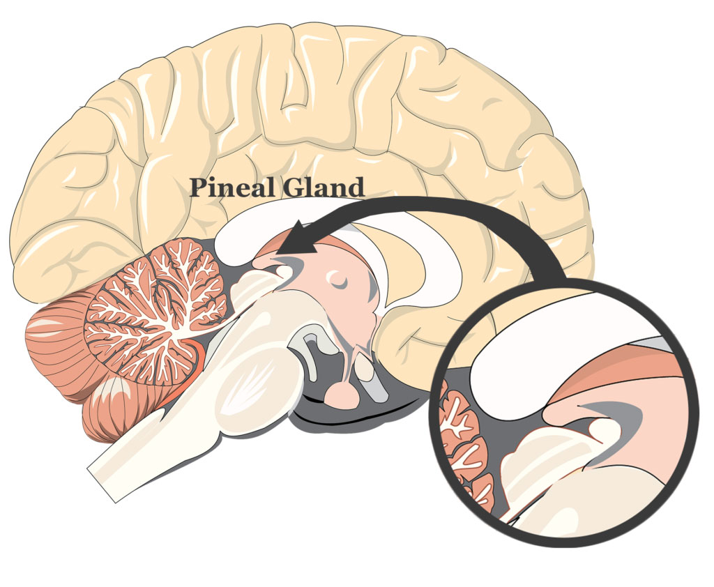 Pineal gland diagram