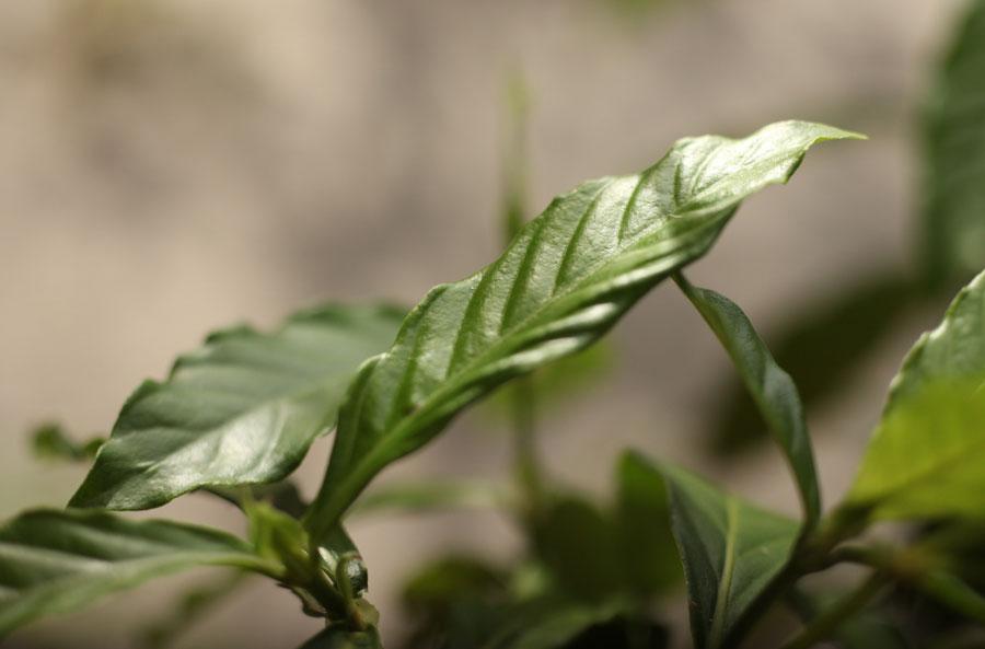 chacruna-leaf-ayahuasca
