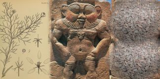 peganum harmala ayahuasca