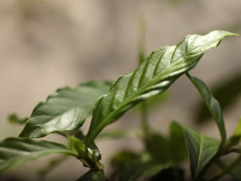 Leaves of Psychotria viridis are commonly mixed with the ayahuasca plant to potentiate the visionary effects of the brew