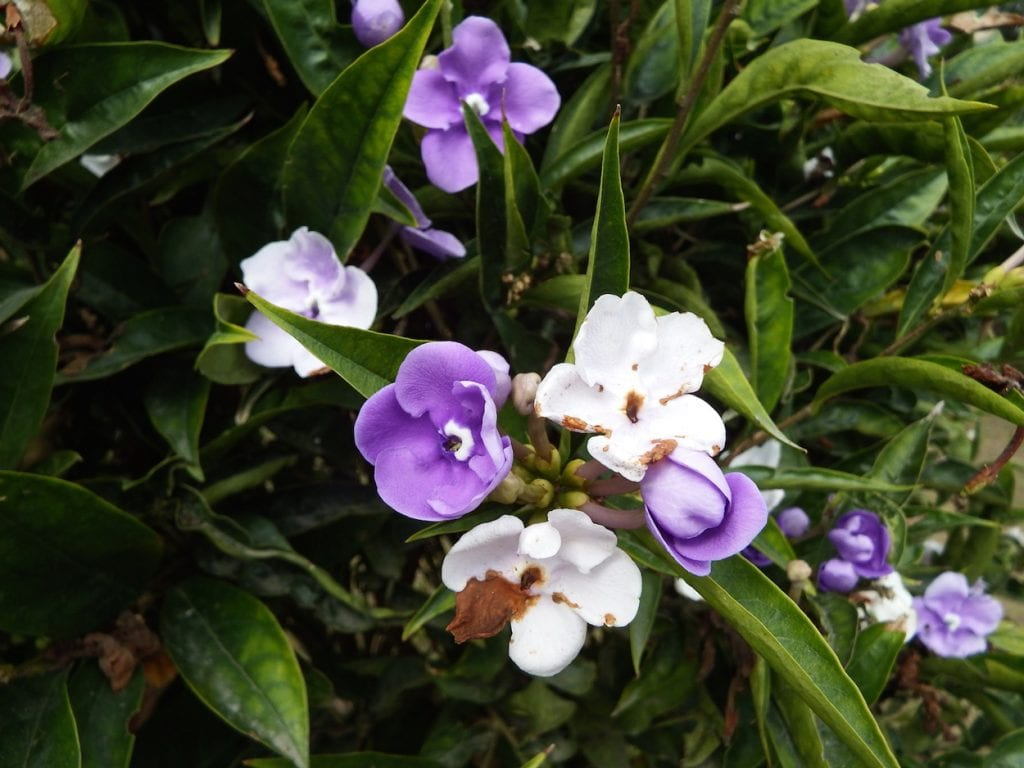 Brunfelsia pauciflora is added to the Brazilian variant of the  ayahuasca plant, Mimosa tenuiflora, for potentiating the visions of jurema, the local hallucinogenic brew.