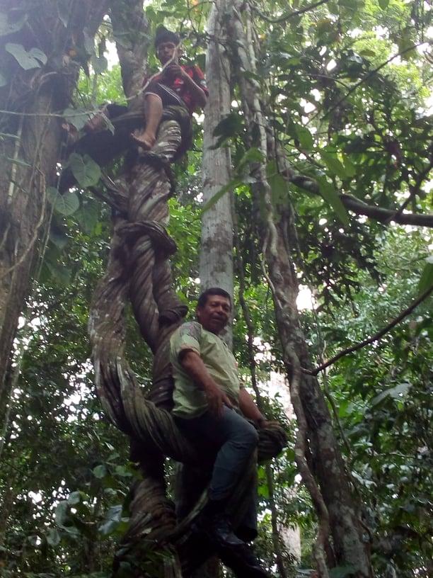 Maestro of shamanic healing Mateo Arévalo Maynas resting on a giant ayahuasca vine.